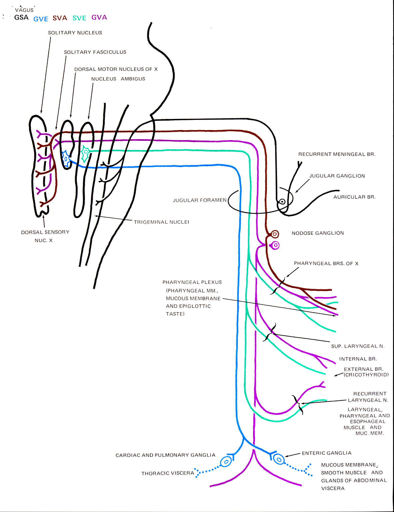Human Gross Anatomy at the Pennsylvania State University: Schematic ...