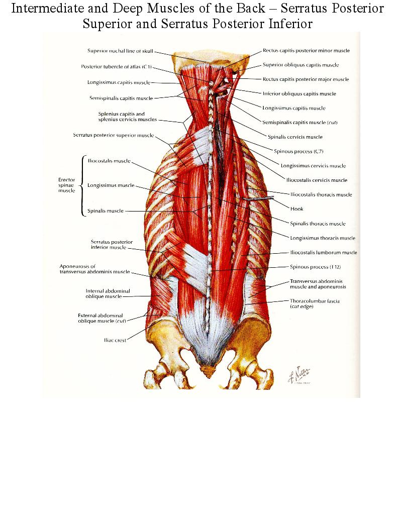 Intermediate and Deep Muscles of the Back – Serratus Posterior ...